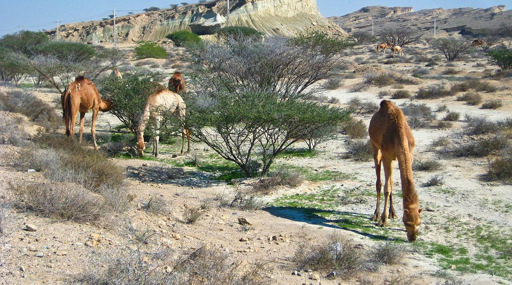 qeshm_island_camels